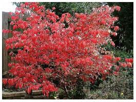 Декоративный лиственный кустарник