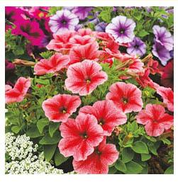 Вьющиеся растения петуния цветы
