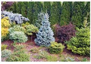 Деревья и кустарники хвойные деревья